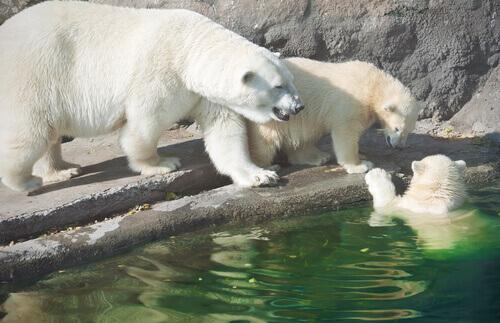 Os ursos polares e o aquecimento global