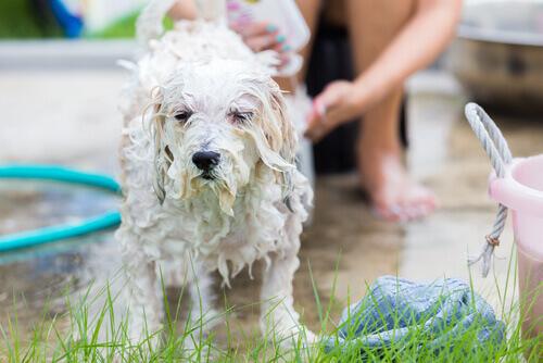 Banho no cão
