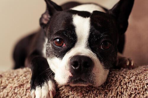 Cachorro_com_alergia