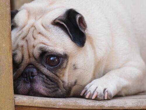 Animal de estimação triste