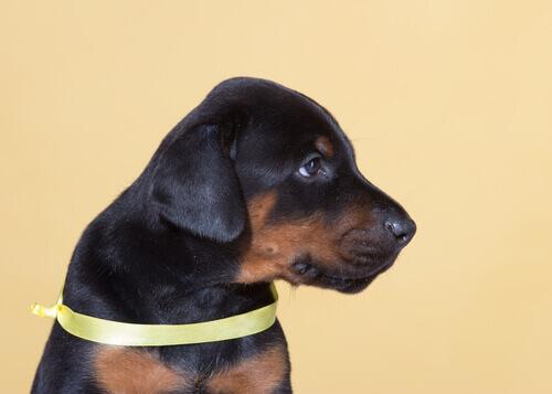 Yellow Dog Project: descubra o que é