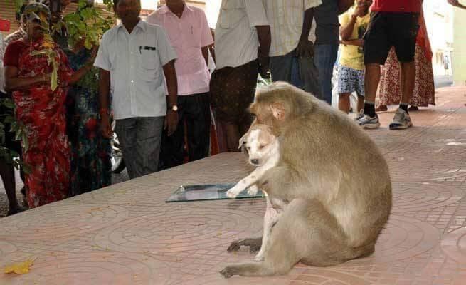 Macaco adota cãozinho