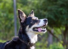 O seu cão imita os outros