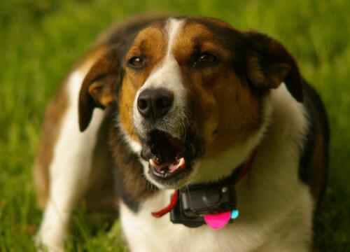 cão-coleira-antilatido