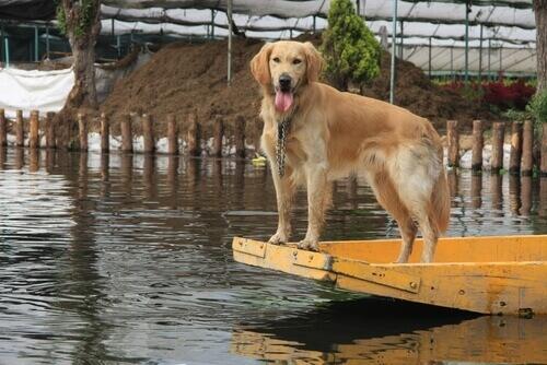 Cadela salva seus filhotes em uma inundação