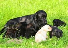 A gravidez de uma cadela