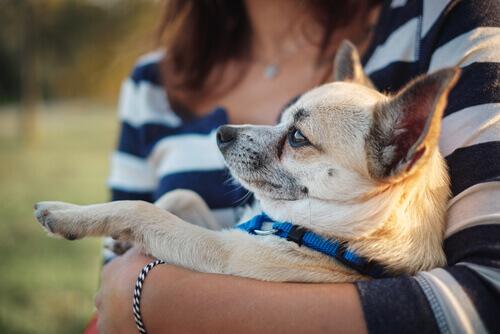 Chihuahua nos braços