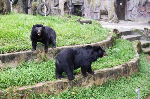dois ursos pretos