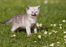 Como fazer para o gato não miar em excesso