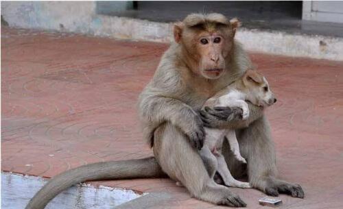 Um macaco adota um cão órfão