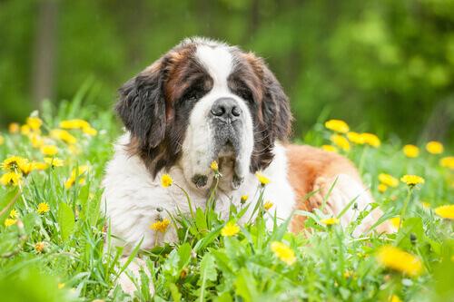 As 5 raças de cães mais tranquilas