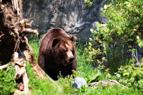 urso na selva