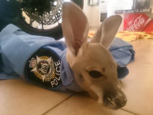 Uma delegacia na Austrália adota um bebê canguru