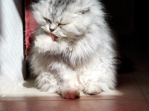 Asseio, o ritual preferido dos gatos