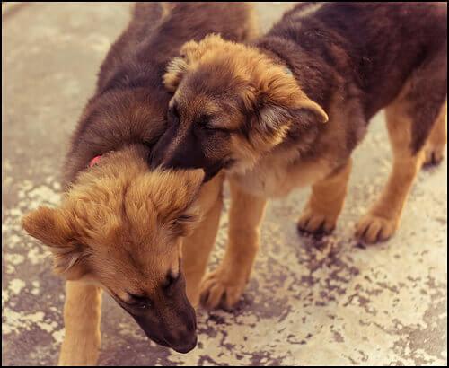 briga-cães