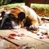 bulldog-dormindo