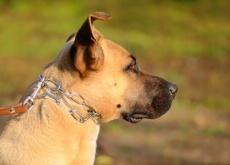 Cães acorrentados