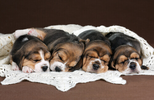 Nascem os primeiros cães por fecundação in vitro