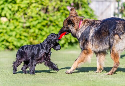 Os cães que brincam pouco se tornam mais agressivos