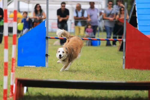Cão fazendo agility