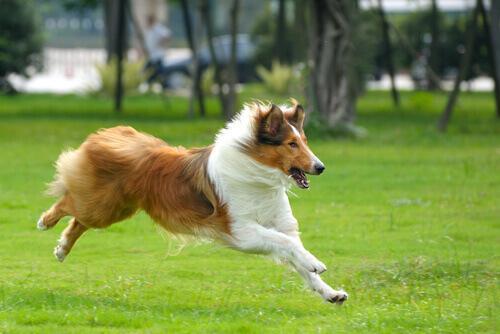 cão-collie-correndo