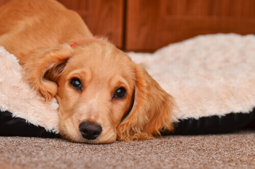 cão-com-diarreia