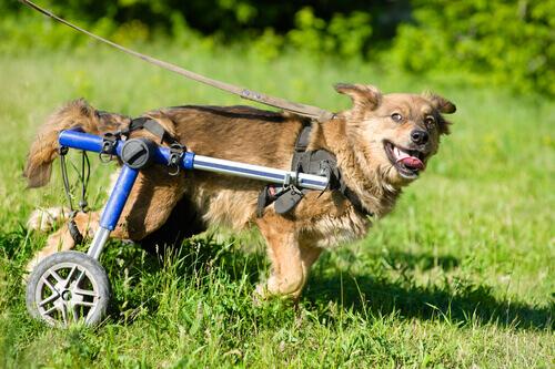 Cachorro com cadeira de rodas