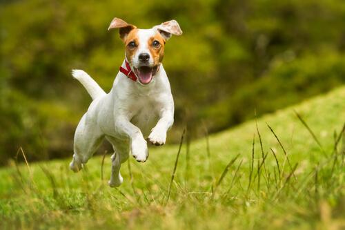 Cão correndo