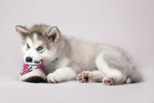 Cachorro gosta de morder sapatos