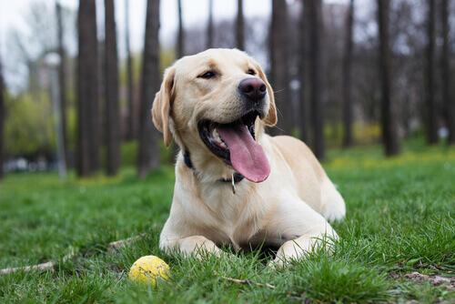cão-labrador-bola