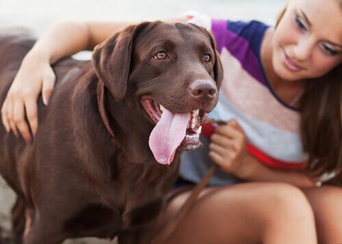 Labrador com mulher
