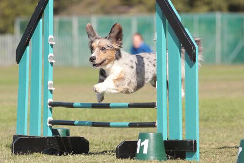 Cachorro treinando