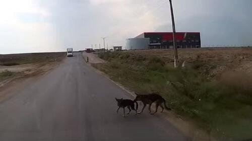 Um cão salva seu amigo de um atropelamento