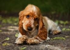 A canela para os cães