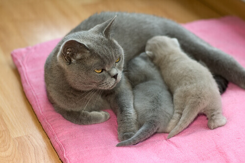Como é o comportamento reprodutivo do gato