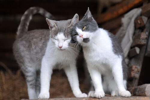 cruzamento-de-gatos