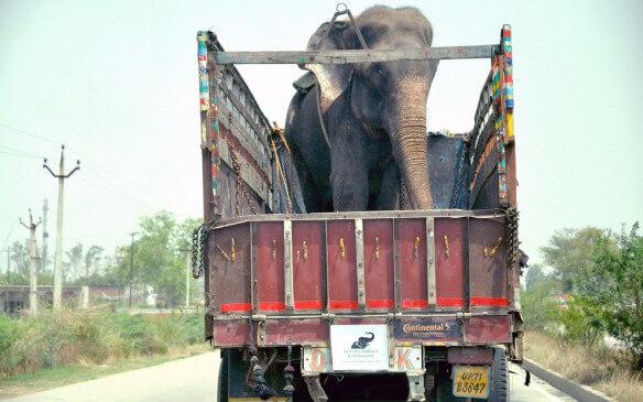 Elefanta resgatada