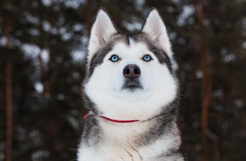 O cão reconhece nossas emoções nos olhando nos olhos