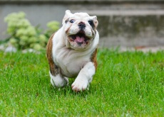 Como fazer para que o seu cão emagreça