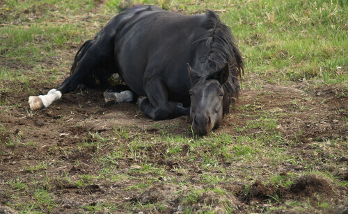 Cavalo deitado no chão