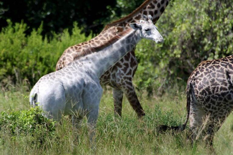 Omo, a girafa branca