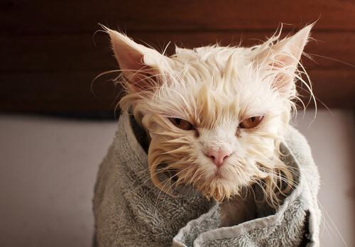 Gato molhado