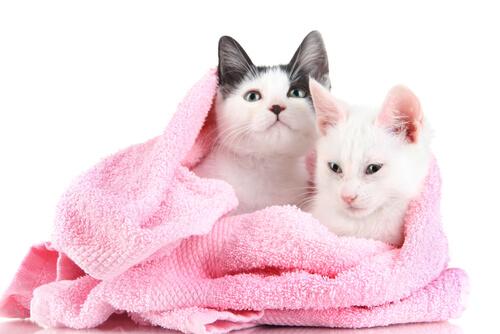 Gatos enrolados em toalha