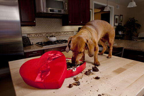 Cachorro comendo chocolates