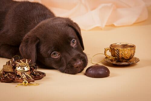 cachorro com chocolate