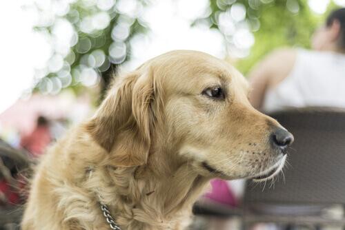 cão de grande porte
