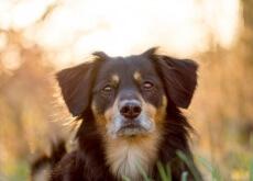 cão mestiço