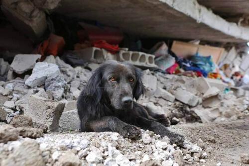 Terremoto no Equador: cão se nega a abandonar sua casa destruída