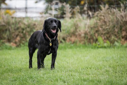 Cão salva dono de receber uma picada de serpente mortal