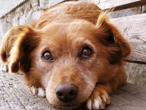 Cachorro observando